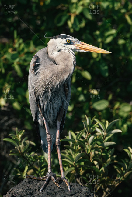 A great blue heron sits on top of a lava rock in Galapagos mangroves