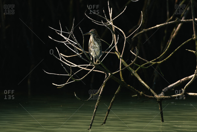 A striated heron perches in the mangrove branches of the Galapagos