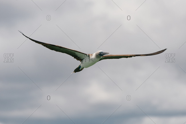 A blue-footed booby in flight gliding over the Galapagos islands