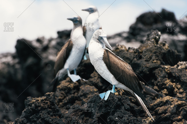 A colony group of blue-footed booby rest on lava rocks by the shore