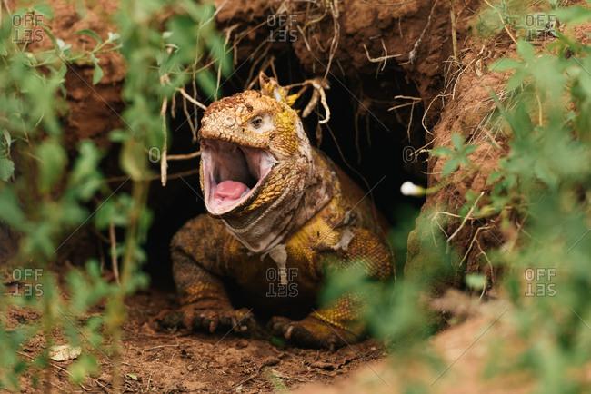 A Galapagos land iguana roars from burrow to scare predators away