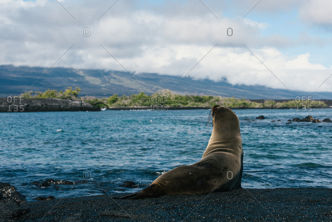 A lone sea lion looks out from the lava beach on the Galapagos islands
