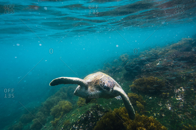 Green sea turtle swimming underwater along sea floor and reef