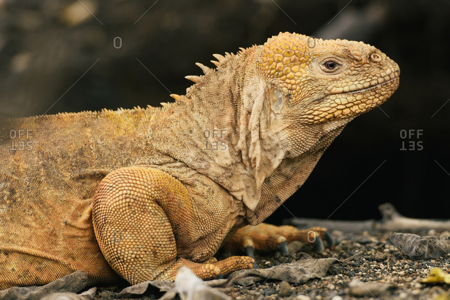 Female Galapagos land iguana from side view in front of dirt burrow