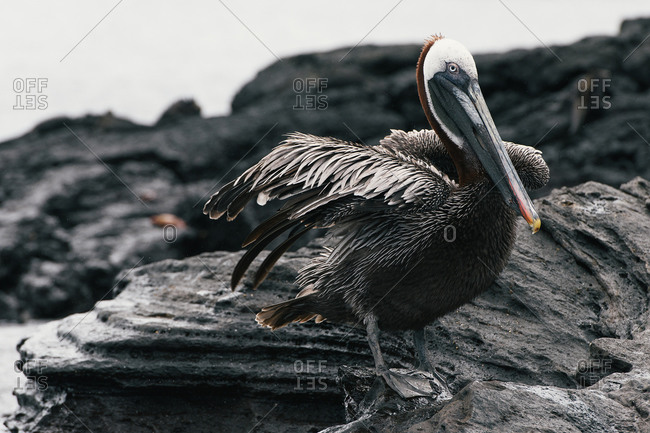 Galapagos brown pelican perched on lava rocks after a swim in ocean