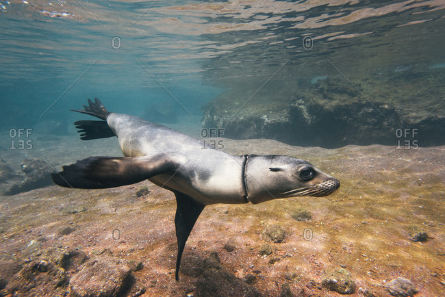 Juvenile Galapagos sea lion playing and swimming underwater