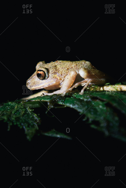 Mindo rain forest tree frog sitting on leaf at night