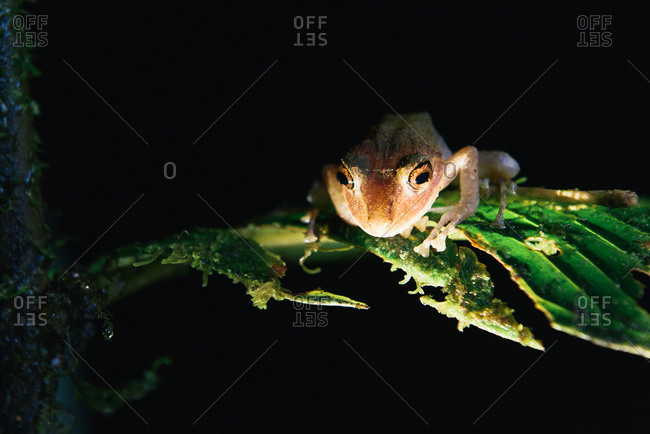Mindo rain forest tree frog looking down from leaf at night