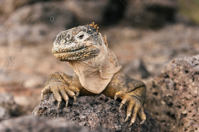 Galapagos land iguana perched on a lava rock looking to camera