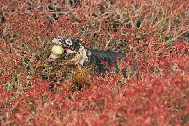 Galapagos land iguana eating a cactus surrounded by red succulents