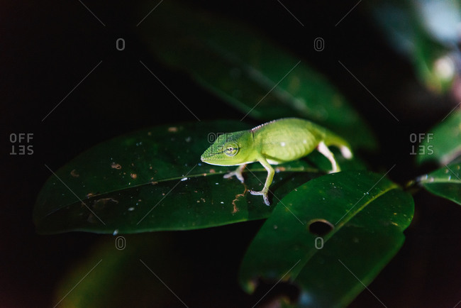 Dwarf nocturnal chameleon on leaf in the jungle at night in Madagascar