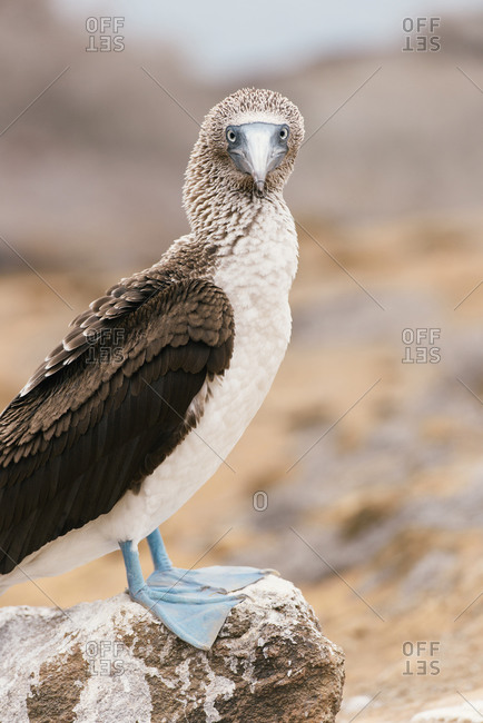 Adult blue-footed bobby standing on rock and looking at viewer