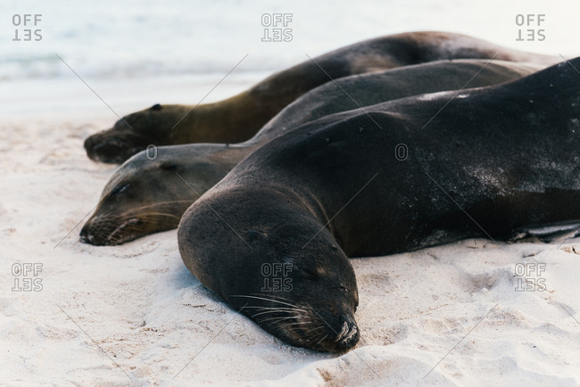 A family of Galapagos sea lion sleep and nap on the sandy beach