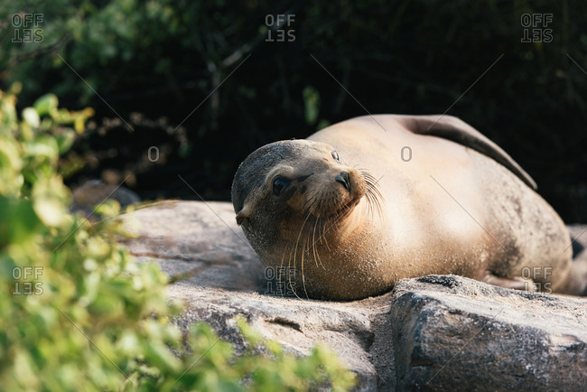 Playful Galapagos sea lion checks out tourist on the beach after nap