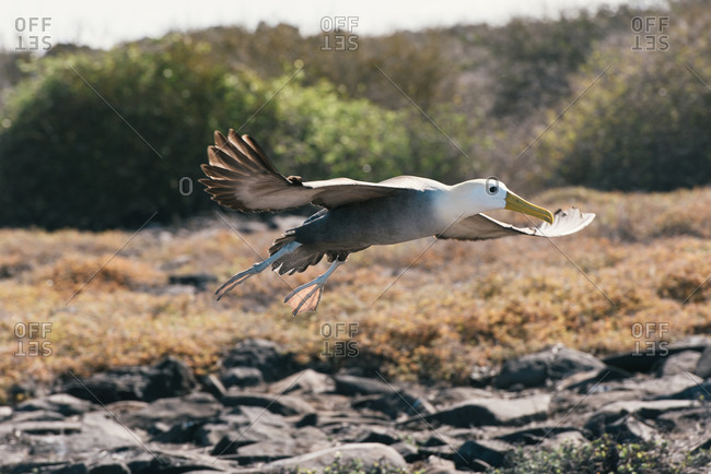 Waved albatross in flight and landing at nesting grounds in Galapagos