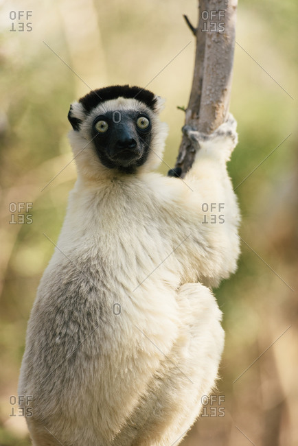 Verreaux's sifaka climbs on a branch in Kirindy park in Madagascar