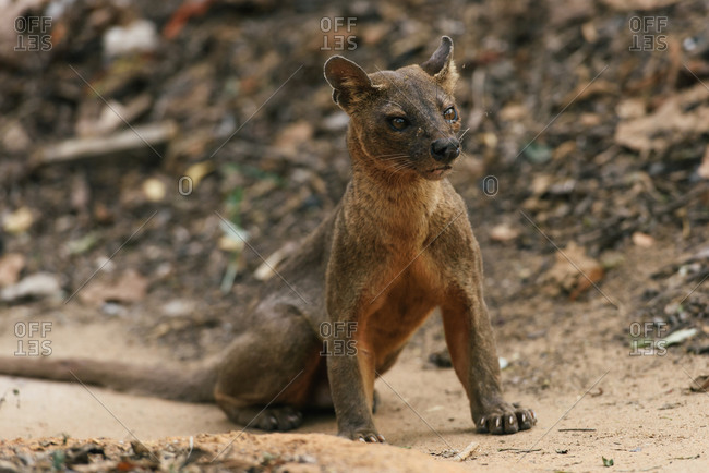 Fossa carnivorous cat of Kirindy in Madagascar with angry stare