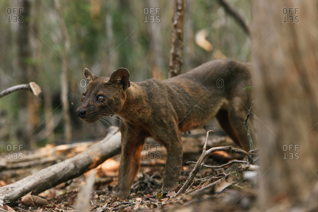 Fossa of Kirindy Madagascar hunting in the dry forest