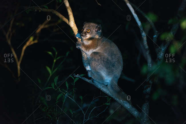 Nocturnal Red-tailed sportive lemur in Kirindy park at night