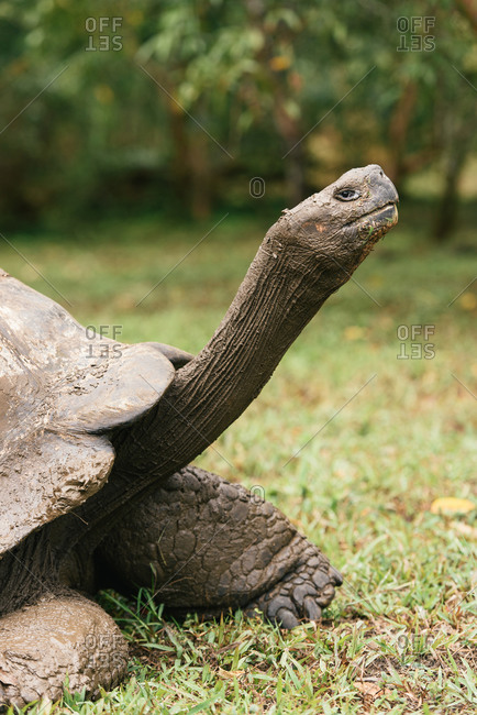 A Galapagos giant tortoise from side profile staring into camera