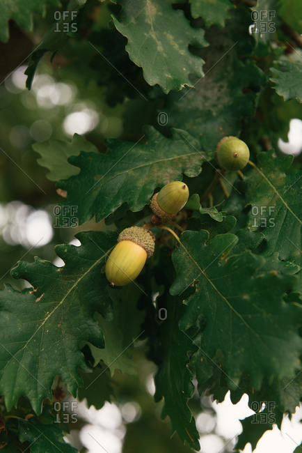 Acorns growing on an oak tree in the south of France