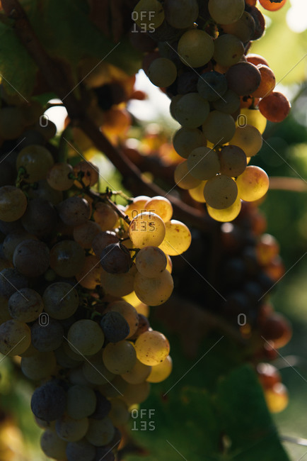 Semillon wine grapes on the vine with fungus in south of France
