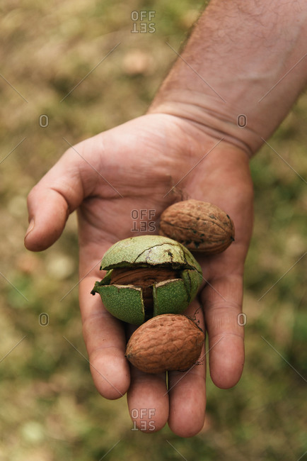 Fresh walnuts held by farmer from harvest in south of France