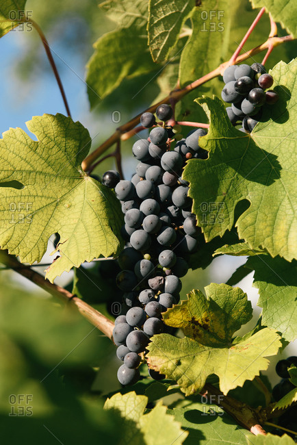 Cabernet franc grapes growing on the vine in the south of France