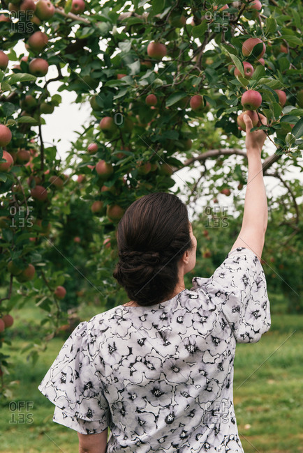 Woman from behind in floral outfit reaching for apples in tree on farm