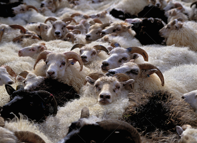 Flock of sheep at traditional sheep round up in Iceland