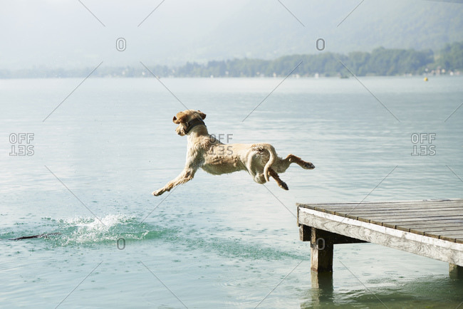 Dog jumping off pier into Lac d'Annecy, Annecy, France