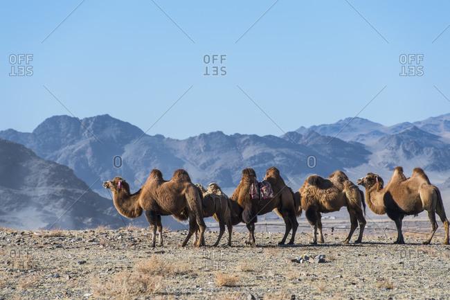 Mongolian camels, Olgiy, Bayan-Olgiy, Mongolia