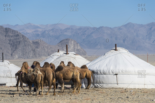 Camels at Mongolian ger (yurt) camp, Olgiy, Bayan-Olgiy, Mongolia