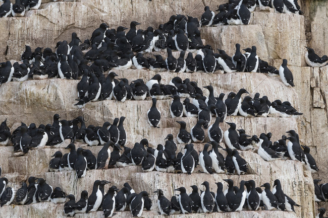 Rows of bruennich's guillemots (uria lomvia) perched on coastal cliff,  Alkefjellet, Spitsbergen, Svalbard, Norway.