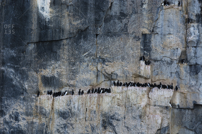 Bruennich's guillemots (uria lomvia) together on coastal cliff ledge,  Alkefjellet, Spitsbergen, Svalbard, Norway.