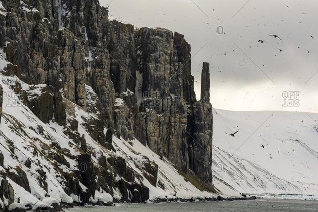 Bruennich's guillemots (uria lomvia) flying by coastal cliff,  Alkefjellet, Spitsbergen, Svalbard, Norway.