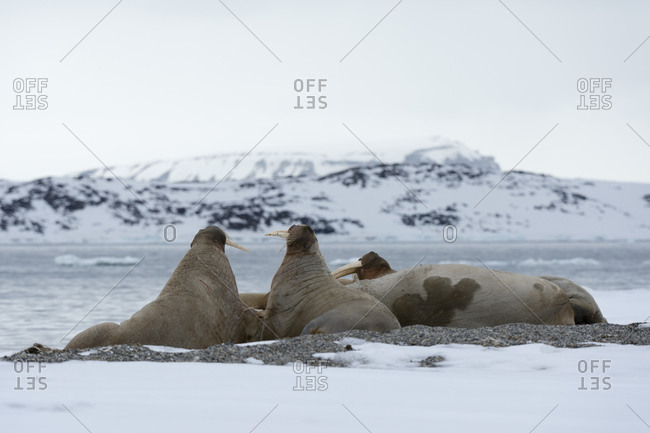 Small group of atlantic walruses (Odobenus rosmarus) on coast, Vibebukta, Austfonna, Nordaustlandet, Svalbard, Norway