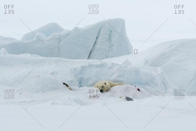Polar bear (Ursus maritimus) lying on snow covered ground, Vibebukta, Austfonna, Nordaustlandet, Svalbard, Norway