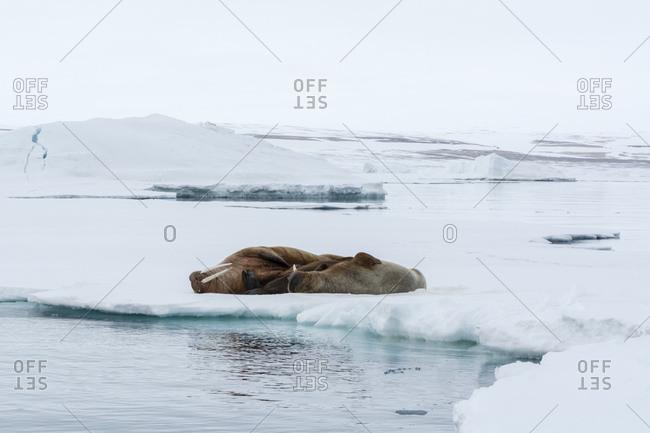 Atlantic walrus (Odobenus rosmarus) lying on iceberg, Vibebukta, Austfonna, Nordaustlandet, Svalbard, Norway
