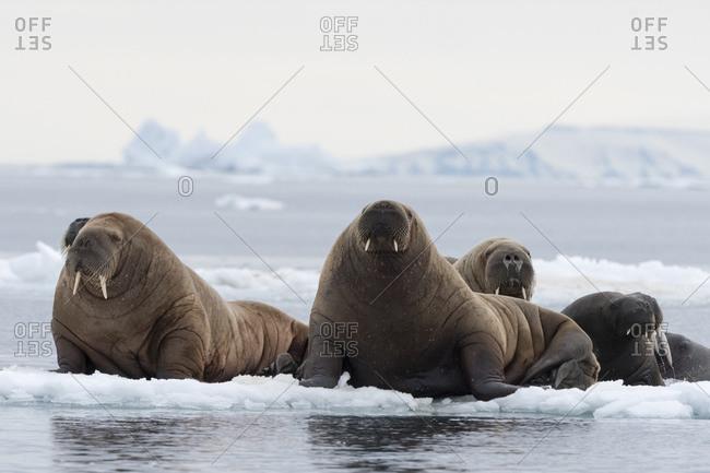 Atlantic walruses (Odobenus rosmarus) on icebergs,  Vibebukta, Austfonna, Nordaustlandet, Svalbard, Norway