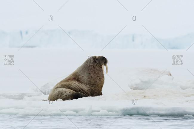 Atlantic walrus (Odobenus rosmarus) on iceberg,  Vibebukta, Austfonna, Nordaustlandet, Svalbard, Norway