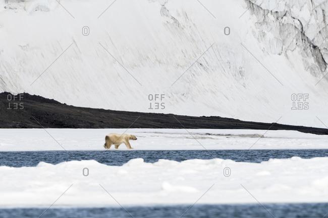 Polar bear (Ursus maritimus) walking along water's edge, Barents Island, Svalbard, Norway
