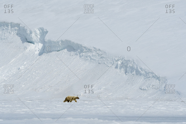 Polar bear (Ursus maritimus) walking on snow covered Barents Island, Svalbard, Norway