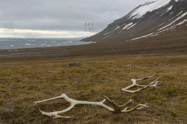 Reindeer antlers in the tundra, Edgeoya Island, Svalbard, Norway