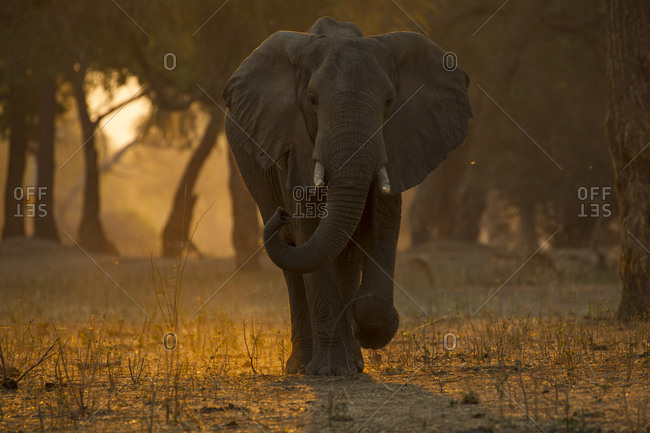 Elephant (loxodonta africana) walking in forest at sunset , Mana Pools National Park, Zimbabwe