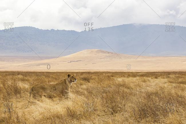 Landscape with lioness (panthera leo), Ngorongoro Crater, Ngorongoro Conservation Area, Tanzania