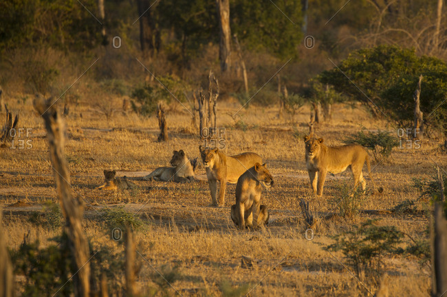 Pride of lions (Panthera leo) in Mana Pools National Park, Zimbabwe