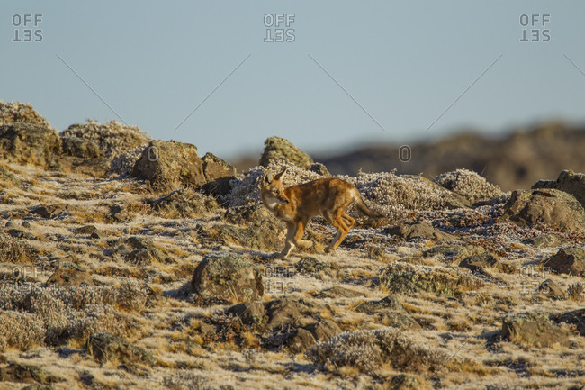Ethiopian Wolf (anis simensis) looking back from rocky hillside, Sanetti Plateau, Bale Mountains, Ethiopia