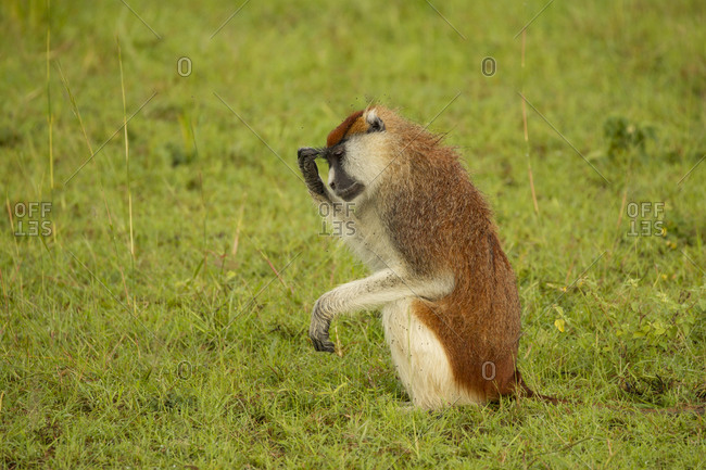 Patas Monkey (erythrocebus patas) sitting up with hand on forehead, Murchison Falls National Park, Uganda