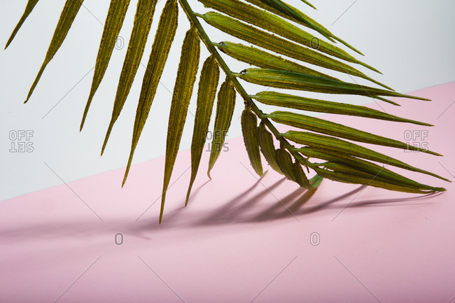 Green tropical palm tree leaf arranged over pink and white background representing summer holidays on sunny beach